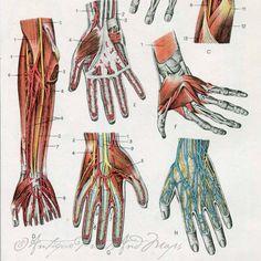 Anatomy Medical The Human Arm Hands by AntiquePrintsAndMaps, $12.00
