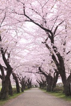 Most amazing places in the world to add to your travel bucket list. Cherry Blossom season in Japan