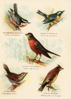 Birds, vintage image: Red-breasted Nuthatch, Magnolia Warbler, American Robin, House Wren, Cedar Waxwing.