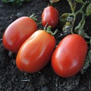 Heinz 2653 Tomato Organic: 75-80 days. A reliable, early-maturing standard processing tomato. We like 2653 for its workhorse-like ability to mature loads of fruit all at the same time. If you have lots of canning to do, this is a great, dependable producer, even in cold or coastal areas. Very firm and flavorful 3-4 ounce fruits on compact , upright, determinate plants. V, FW.
