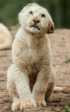 Photograph White lion (panthera leo) by Jean-Claude Sch. Crazy Cats, Big Cats, Cats And Kittens, Nature Animals, Baby Animals, Cute Animals, Wild Animals, Amor Animal, Mundo Animal