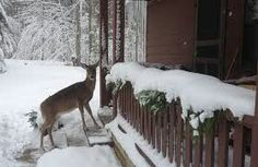 Deer On Steps Of Cabin. Blackwater Falls State Park, Davis WV