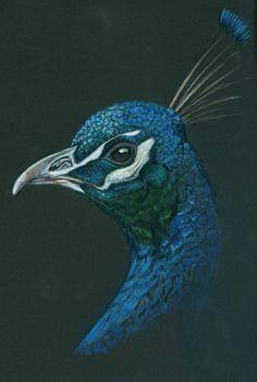 """""""Peacock"""" (Colored pencil on black paper) By Kristee Mays"""