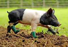 This adorable piglet was refusing to join his siblings, everybody was shocked and nobody knew what to do. But, as it turned our later, this cool six-week-old Cinders was afraid of … MUD.  So now he wears small wellington boots & enjoys life as it is.