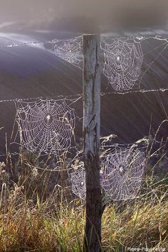 ✯  I can remember being with the outdoor ed group years ago and finding a great big orb spider and running to find someone to show them, only to find that it had disappeared!   they are the most beautiful spiders and create webs of art just like these....