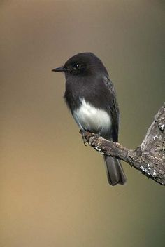 Black Phoebe. Our bird!! She sits in our front yard all morning and swims in our pool same time twice a day!!