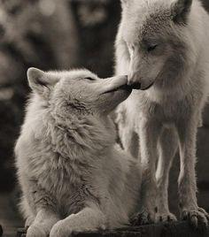 Le loup est l'un des animaux les plus fidèles envers leur compagnon/compagne, ce que l'on ne peut en aucun cas nier. Surtout pas là ❤