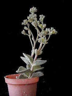Lenophyllum guttatum -Lenophyllum es un género con nueve especies de plantas con flores perteneciente a la familia Crassulaceae  ( Photo & Collection Jean-Michel Moullec)