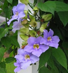 Thunbergia as a genera has many wonderful species. (T.grandiflora pictured)  I love this group of plants.