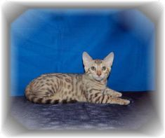 bengal savannah kittens for sale fl