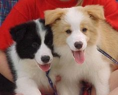 Love border collie pups!