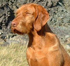 The Wirehaired Vizsla, is a dog breed originating in Hungary. Wirehaired Vizslas are known as excellent hunting dogs, and also have a level personality making them suited for families. Wikipedia Origin: Hungary Higher classification: Dog Height: 58 – 64 cm (Adult, Male), 55 – 58 cm (Adult, Female) Mass: 20 – 29 kg (Adult, Male), 18 – 25 kg (Adult, Female)