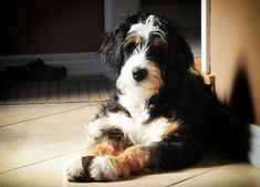 The Bernedoodle is a cross breed formed with contributions from the Poodle and Bernese Mountain Dog. This breed blends the cleverness of the poodle with the easy-going loyalty of the Bernese. It's also a dog that is either low shedding or non-shedding, so is safe for most people who have allergies. When it comes to …