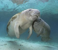 "Florida is home to the West Indian Manatee, the official marine mammal of the State of #Florida. Manatees can be found in the warm waters of shallow rivers, bays, estuaries and coastal waters. Remember to practice ""passive observation"" and don't touch, feed, or offer water to #manatee. At RE/MAX Flagstaff, our REALTORS® can help you find a #home with ample manatee viewing opportunities."