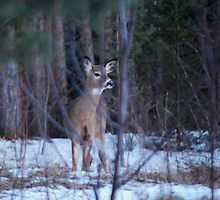 Young Doe in the Bush by Diane Blastorah