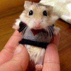 Hamster in a sweater!