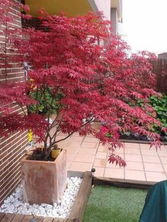 red colored Japanese maple in the planter Informations About Japanischer Ahorn im Garten - 50 Gestal Garden Types, Balcony Garden, Garden Pots, Garden Ideas, Balcony Ideas, Back Gardens, Outdoor Gardens, Red Leaf Plant, Bush Garden