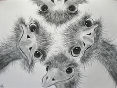Four silly ostrich faces in pencil or charcoal. From Just sketch. 365 days.: Cooperative online Sketch # 27: Animals
