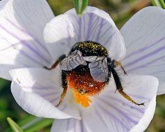 Ciencia, naturaleza y curiosidades de las abejas: http://www.muyinteresante.es/naturaleza/fotos/curiosidades-ciencia-y-naturaleza-de-las-abejas/abejas-curiosidades-10