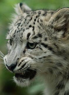 Snow Leopard Cub by JasonBrownPhotography