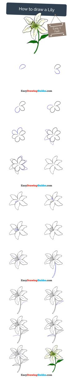 Learn How to Draw a Lily: Easy Step-by-Step Drawing Tutorial for Kids and Beginners. #lily #drawing. See the full tutorial at https://easydrawingguides.com/how-to-draw-a-lily/