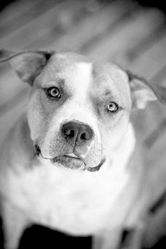The best breed of dog in existence #pitbull
