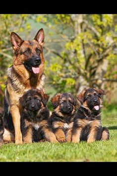 1000 Images About German Shepherd Dogs On Pinterest