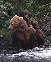 brown bear and two cubs - Alaska Department of Fish and Game