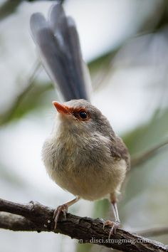 Perhaps either a Superb Fairy Wren (Malurus cyaneus) or a Variegated Fairy Wren (