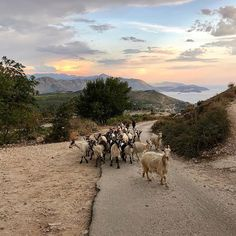 A look to the east side from Fort Imperial on the hill of Dubrovnik Croatia . Came across a bunch of goats blocking my way . Dubrovnik Croatia, Travelogue, East Side, Travel Abroad, Backpacking, Goats, Travelling, Wanderlust, Around The Worlds