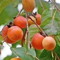 American Persimmon Trees To Plantfruit