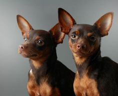 The Miniature Pinscher is thought to be an old breed, but documentation can only trace it reliably back numerous hundred years.