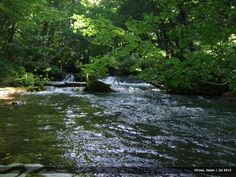 """Calm stream through the forest of """"Buna"""" trees in Oirase Gorge, Japan."""