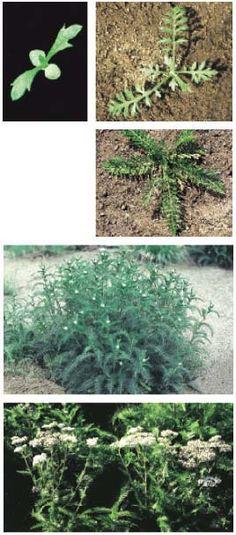 Liste Des Mauvaises Herbes Avec Photo : liste, mauvaises, herbes, photo, Idées, Mauvaises, Herbes, Jardin., Herbes,, Herbe,, Jardins
