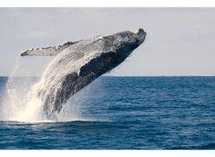 Humpback Whale(Megaptera novaeangliae )ザトウクジラ