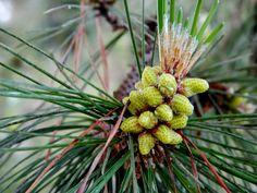 New pine cones, Santa Cruz [cultivated]