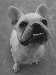 I am a sucker for big ears and an underbite- think my next dog will be a Frenchie!