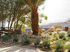 Aloe vera plants in the garden at the Kibbutz Ein Gedi Youth Hostel, Dead Sea, Israel