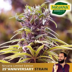 Durban Poison Feminized is an easy to grow, sativa dominant, tall plant that was created by crossing South African and Dutch genetics. Order now. Tall Plants, Genetics, Trippy, Earthy, Seeds, African, South Africa, Dutch, Dutch Language