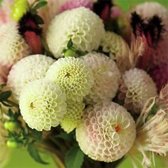 Pompom Dhalia's are Gorgeous!