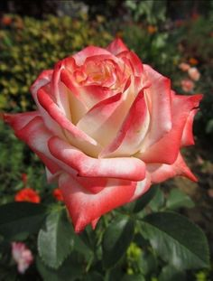 For rose fans Beautiful Rose Flowers, Beautiful Flowers, Orange Roses, Red Roses, Most Popular Flowers, Asian Garden, Rosa Rose, Special Flowers, Growing Roses