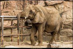 Tierpark Berlin - cooler Elefant