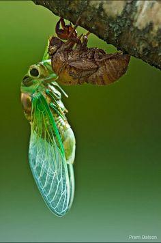 imgarcade.com - Cicada emerging from shell