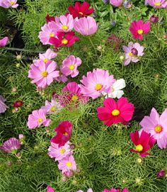 Cosmos - Sow directly into the ground after danger of frost.  They grow quickly and are great cutting flowers.