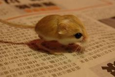 Baluchistan Pygmy Jerboa: the jerboa is one of the smallest mammals in the world and is the smallest rodent. Adult females only weigh up . Animals Of The World, Animals And Pets, Baby Animals, Funny Animals, Cute Animals, Hamsters, Rodents, Gerbil, Bizarre