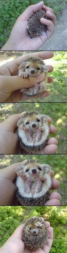 IT A BABY HEDGEHOGI want to put him in my pocket and carry him around with me all day! But that probably wouldnt end well....