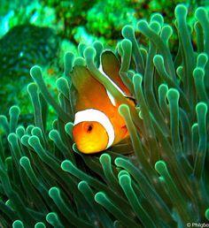 Clown fish in Thailand  http://www.hello-thailand.net/