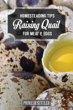 Raising Quail For Meats and Eggs | How To Start Quail Farming - Easy Tips and Ideas by Pioneer Settler at http://pioneersettler.com/raising-quail-homestead-tips-for-the-best-quail-eggs/