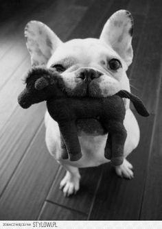 cuttie puppy bulldog