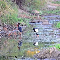 Now considered an endangered species in South Africa the saddle-billed stork is monogamous with approximately 150 breeding pairs in South Africa. We are fortunate to see these birds regularly in the Timbavati. The one nesting closest to Simbavati River Lodge had a chick that was successfully raised. Image by Stefan Kruger River Lodge, Stork, Endangered Species, Lodges, South Africa, Safari, Pairs, Image, Animals